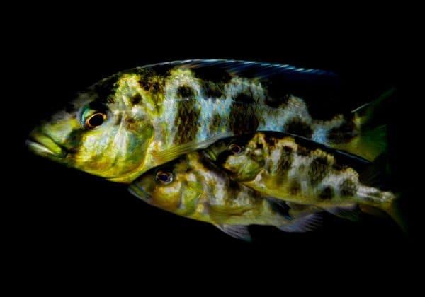 Золотой леопард - привлекательная рыбка