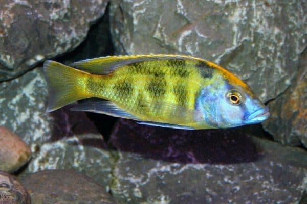 Золотой леопард - привлекательная рыбка в аквариуме
