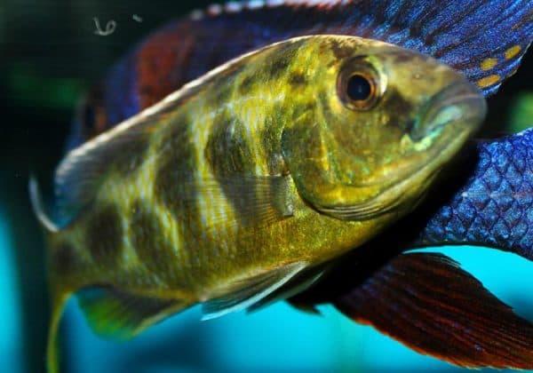 Золотой леопард - удивительная рыбка