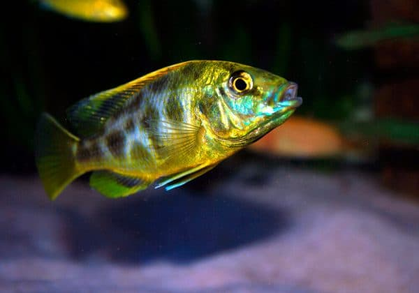 Золотой леопард - удивительная рыбка в аквариуме