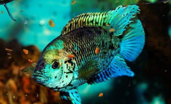 Блю Демпси - красивая рыбка