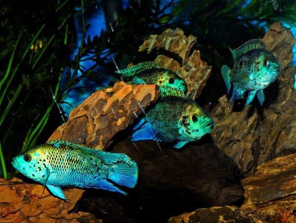 Блю Демпси - красивая рыбка в аквариуме