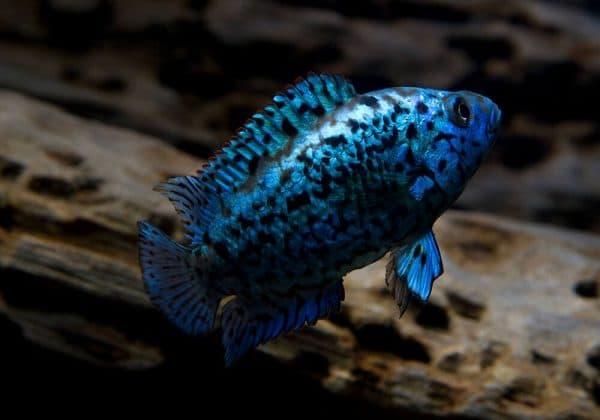 Блю Демпси - прекрасная рыбка