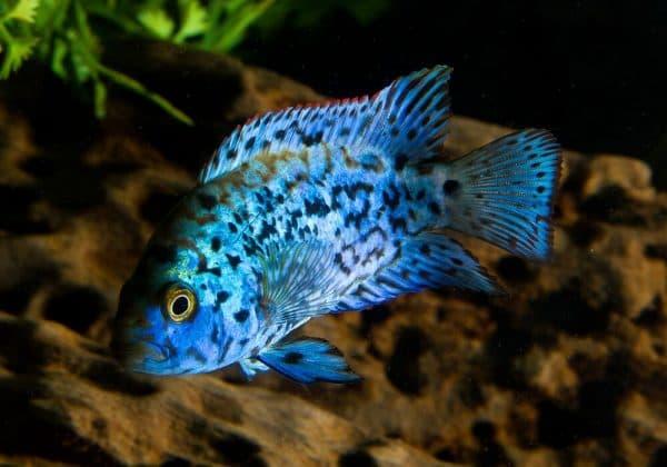 Блю Демпси - прекрасная рыбка в аквариуме