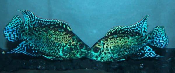 Блю Демпси - удивительная рыбка