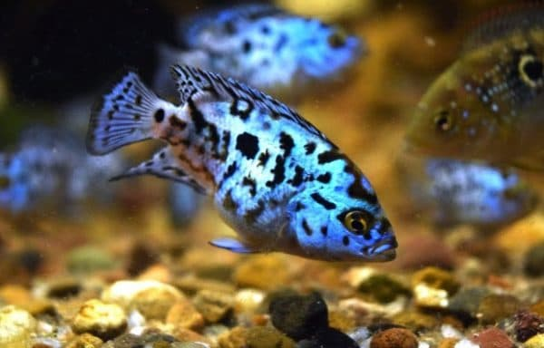 Блю Демпси - удивительная рыбка в аквариуме