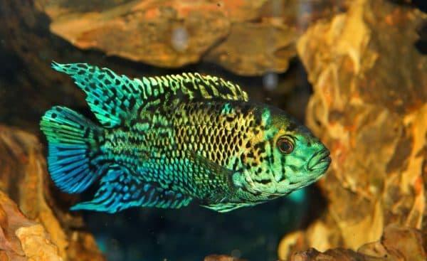 Блю Демпси в аквариуме