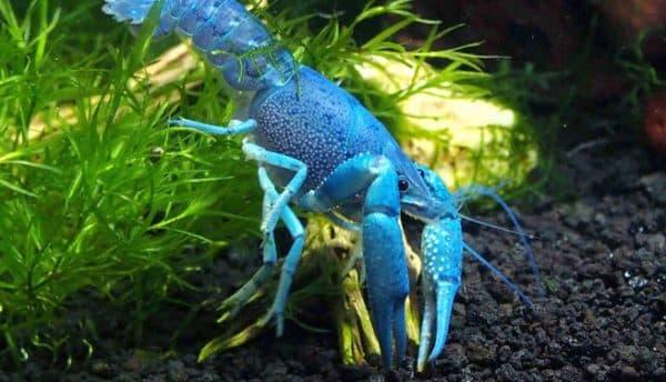 Голубой кубинский рак совместимость с рыбами