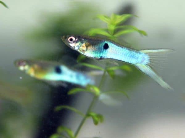 Гуппи Эндлера - красивая рыбка в аквариуме