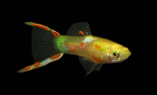 Гуппи Эндлера - красивая рыбка