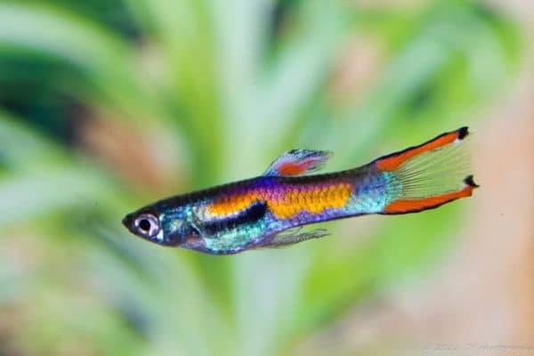 Гуппи Эндлера - прекрасная рыбка в аквариуме