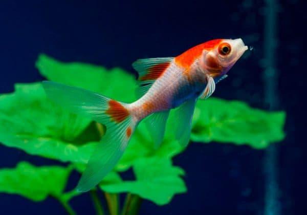 Комета - аквариумная рыбка