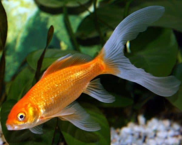 Комета - красивая аквариумная рыбка