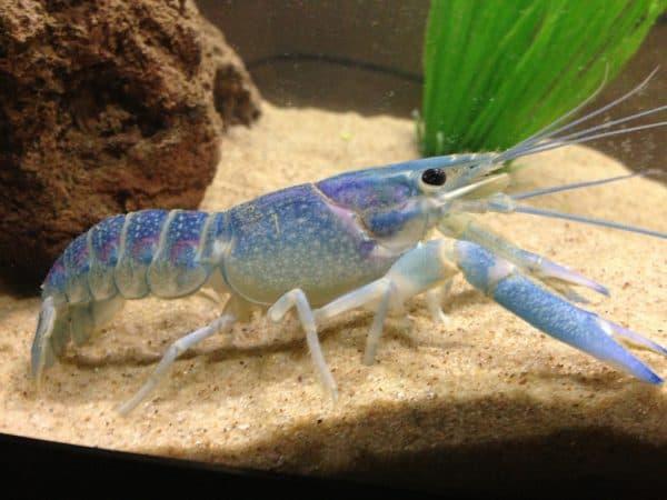 Красивый голубой кубинский рак в аквариуме