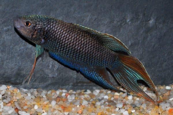 Макропод - красивая рыбка