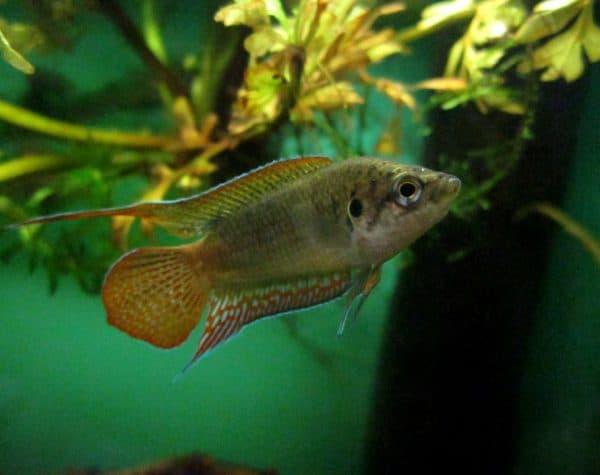 Макропод - прекрасная рыбка в аквариуме