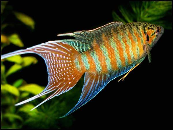 Макропод рыбка