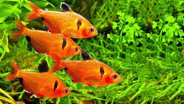 Минор рыбка читайте статью