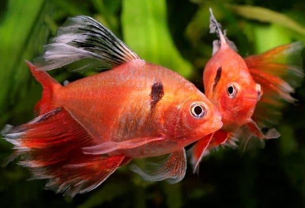 Минор рыбка фото