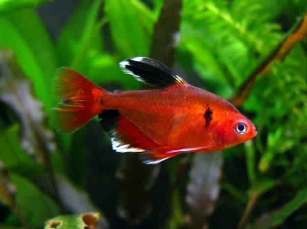 Минор рыбка - красивая рыбка