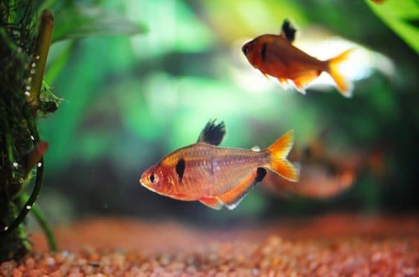 Минор рыбка на фото