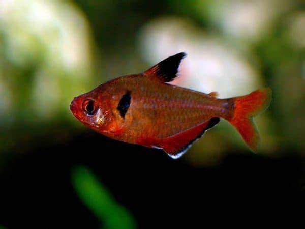 Минор рыбка - прекрасная рыбка в аквариуме