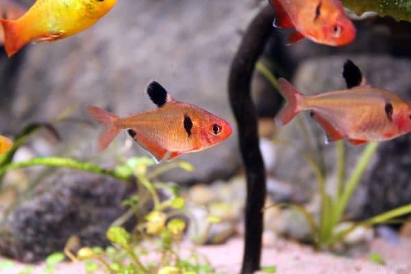 Минор рыбка в аквариуме