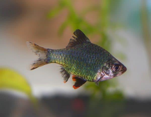 Мшистый барбус - красивая рыбка в аквариуме