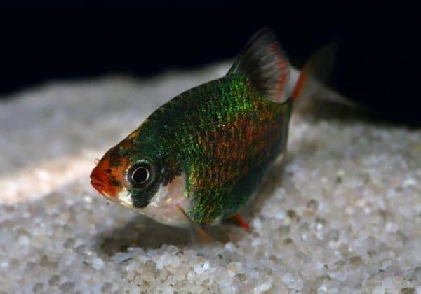 Мшистый барбус - прекрасная рыбка