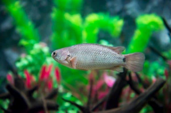 Рыба-ползун фото