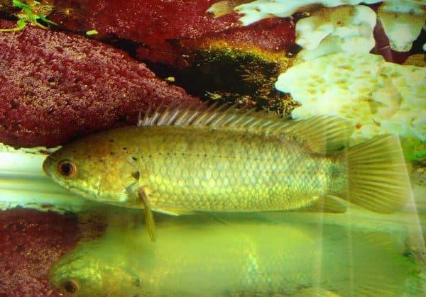 Рыба-ползун на фото