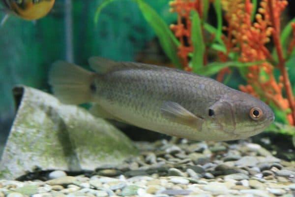 Рыба-ползун - необычная рыба