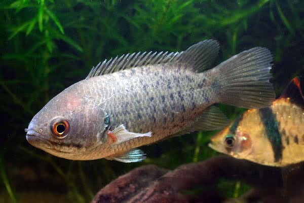 Рыба-ползун в аквариуме