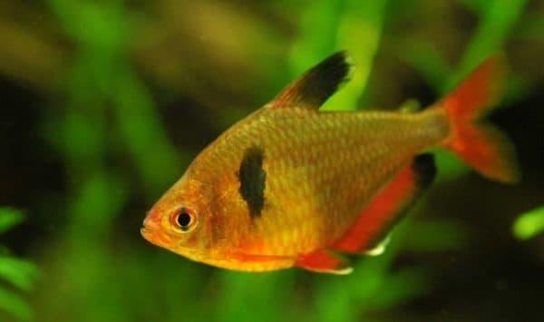 Серпас в аквариуме