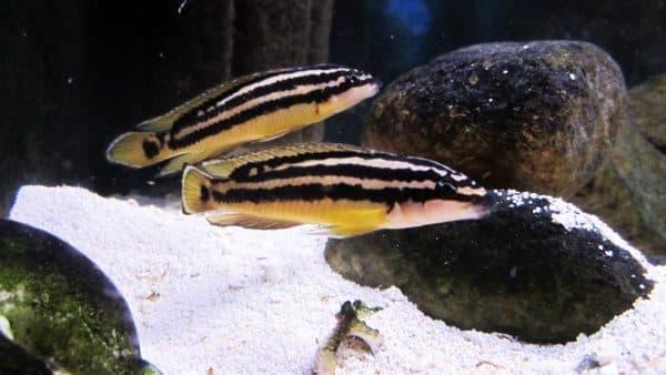 Юлидохромисы - красивая рыбка