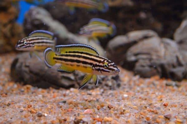 Юлидохромисы - красивая рыбка в аквариуме