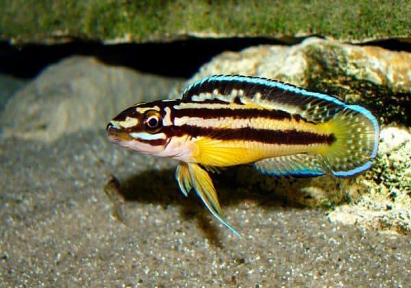 Юлидохромисы - удивительная рыбка