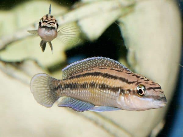 Юлидохромисы в аквариуме