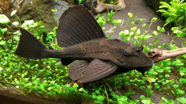 Рыба прилипала