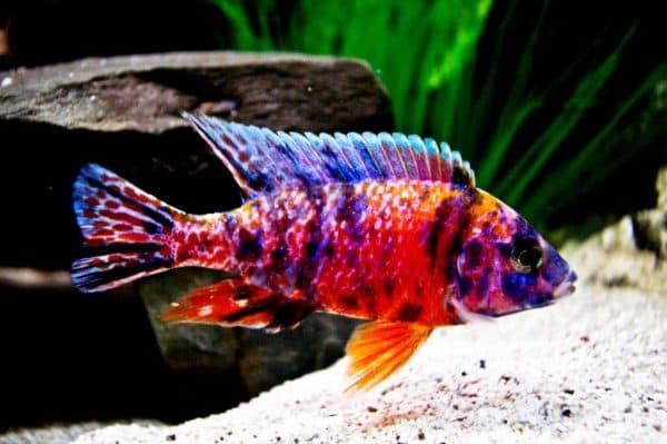 Aulonocara Multicolor