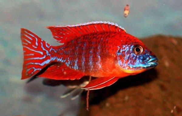 Aulonocara Red Rubin