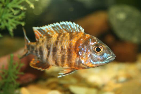 Аулонокара - красивая рыбка в аквариуме