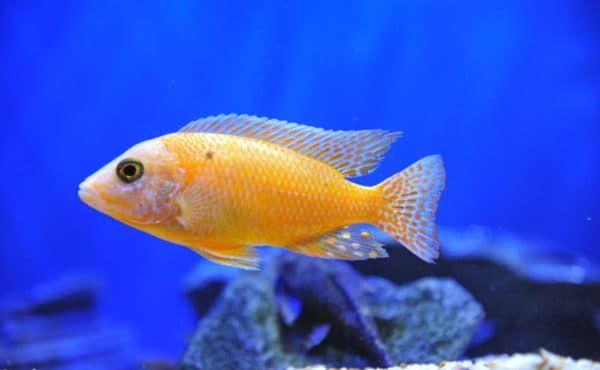 Аулонокара - прекрасная рыбка
