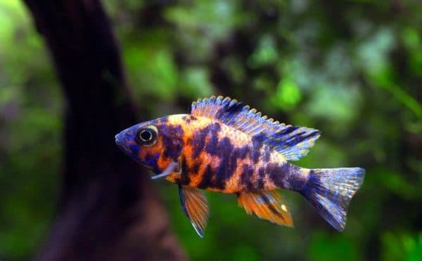 Аулонокара - прекрасная рыбка в аквариуме