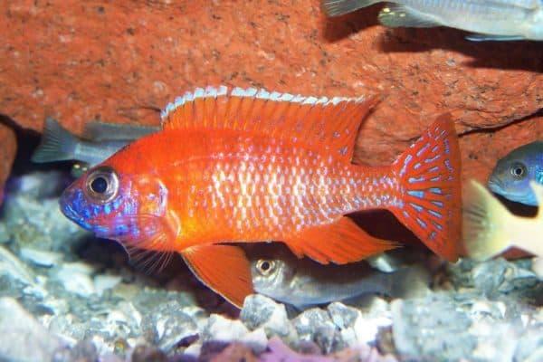 Аулонокара - удивительная рыбка в аквариуме