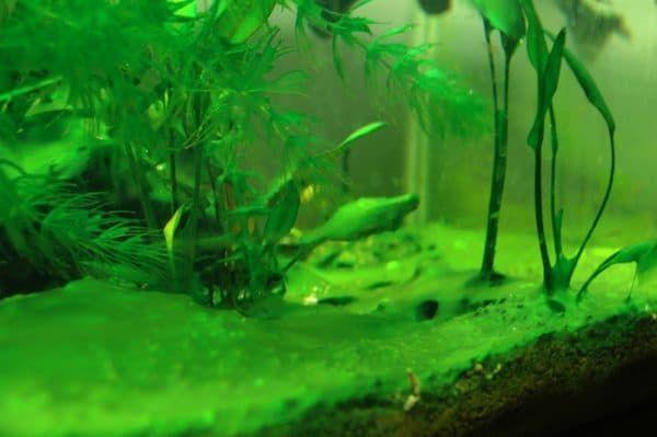Цианобактерии в аквариуме