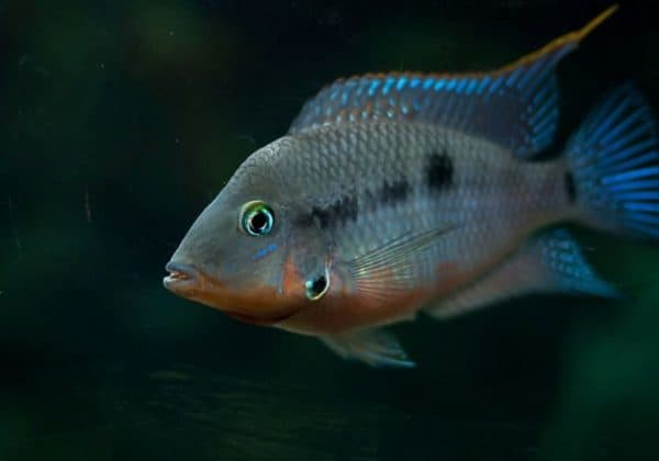 Цихлазома Меека - красивая рыбка
