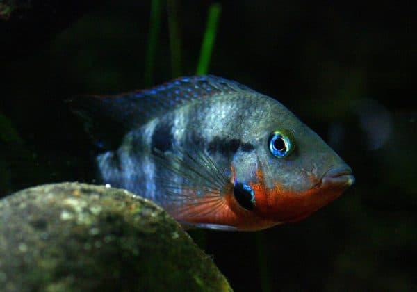 Цихлазома Меека - красивая рыбка в аквариуме