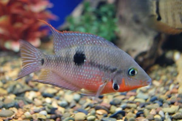 Цихлазома Меека - прекрасная рыбка