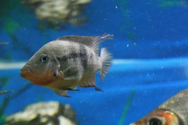 Цихлазома Меека - прекрасная рыбка в аквариуме